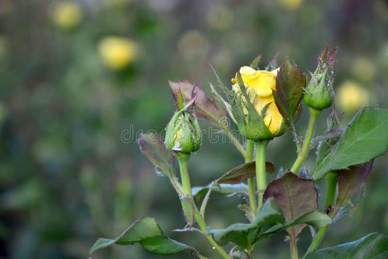 Brote de la rosa del amarillo imagenes de archivo