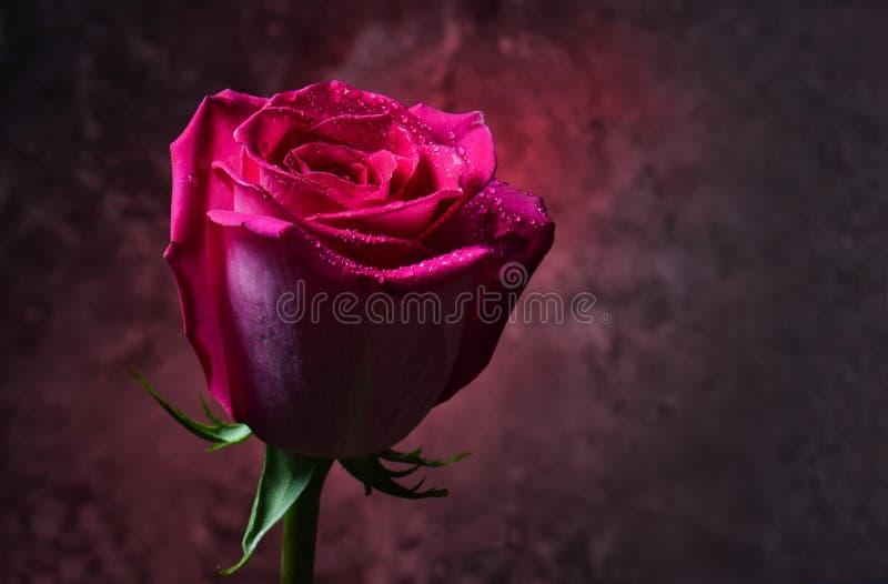 Brote de la rosa del rosa en descensos de rocío en un fondo oscuro de un muro de cemento Tarde romántica Luz roja mística imagenes de archivo