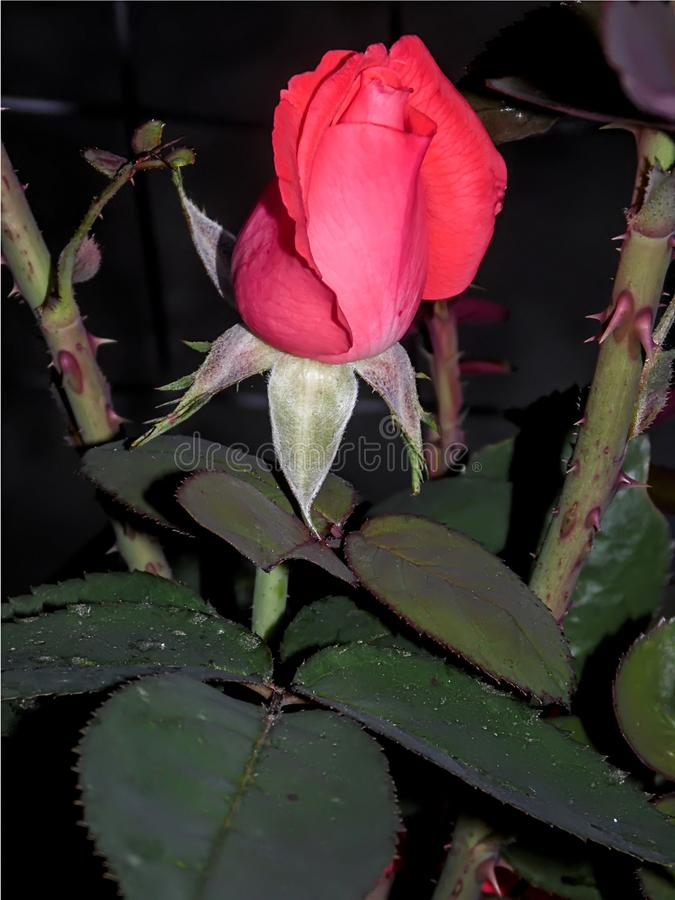 Brote de la rosa del rosa no todavía florecido fotos de archivo libres de regalías