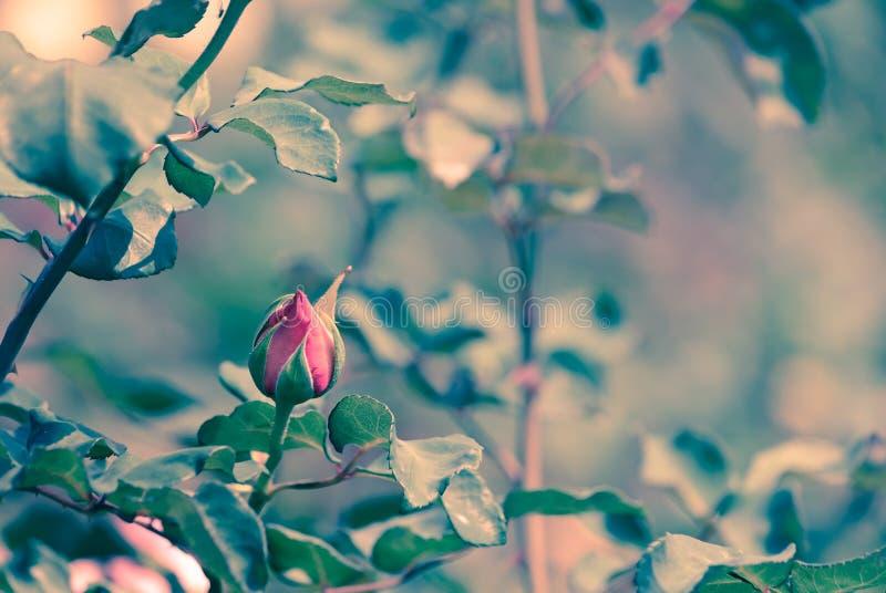 Brote de la rosa roja en imagen del estilo del vintage del jardín de rosas imagen de archivo
