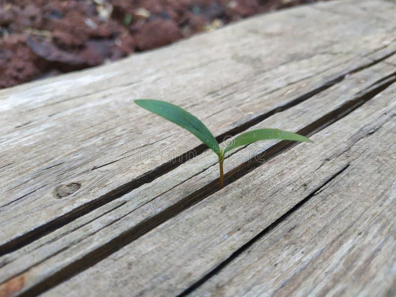 Brote de la semilla crecer a través de la grieta en tablón de madera Rotura con problemas superados concepto y la situación difíc fotos de archivo