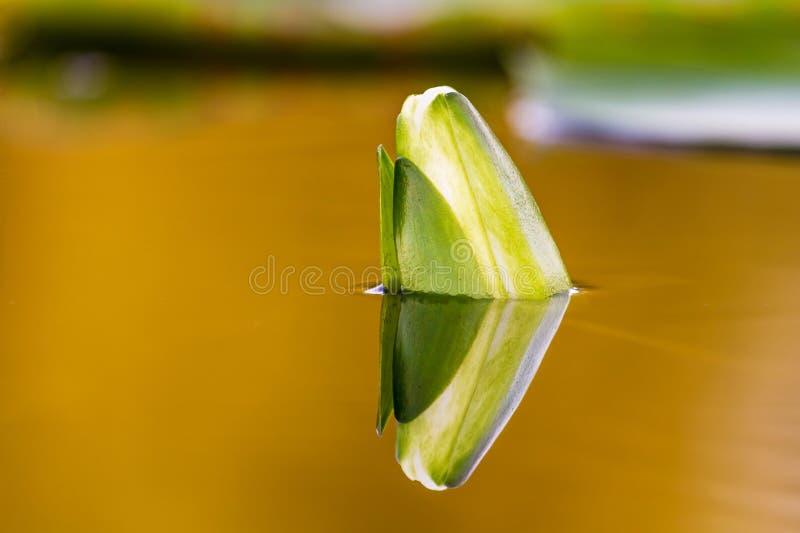 Brote de Lotus en agua fotos de archivo libres de regalías