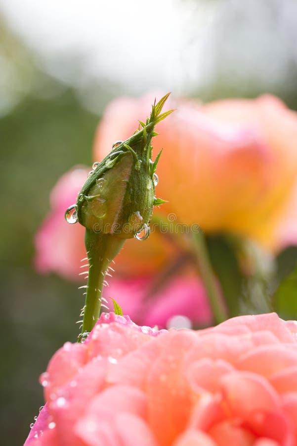 Brote de Rose con descensos de rocío y fondo color de rosa suave del flor imagen de archivo