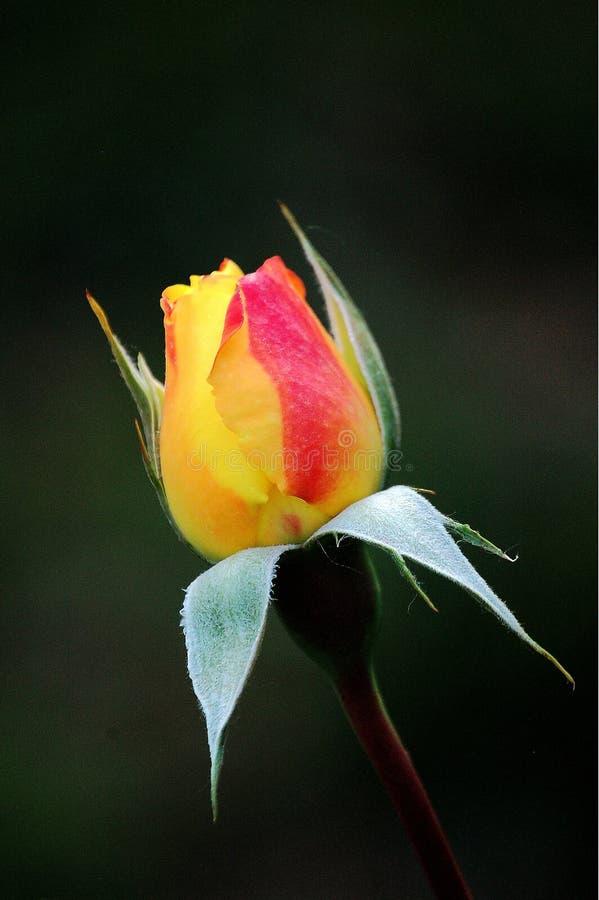Brote de una flor color de rosa de China imagenes de archivo