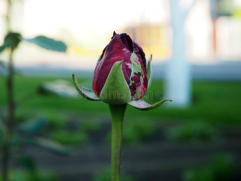 Brote de una rosa roja antes de florecer en la sombra foto de archivo
