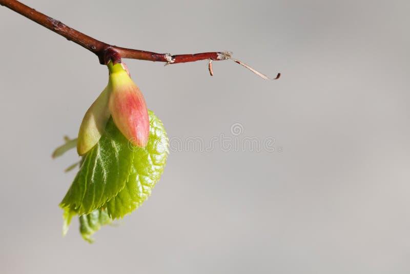 Brote del árbol de tilo, lanzamiento embrionario con la hoja verde fresca rama macra de la visión, fondo gris concepto del tiempo foto de archivo libre de regalías