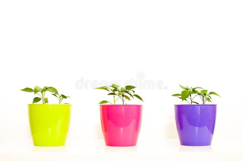 Download Brote Del Almácigo De La Paprika En Un Plast Púrpura, Color De Rosa Y De Color Verde Amarillo Imagen de archivo - Imagen de verde, brote: 41904841
