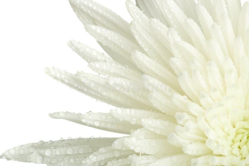 Brote del crisantemo del primer fotografía de archivo libre de regalías