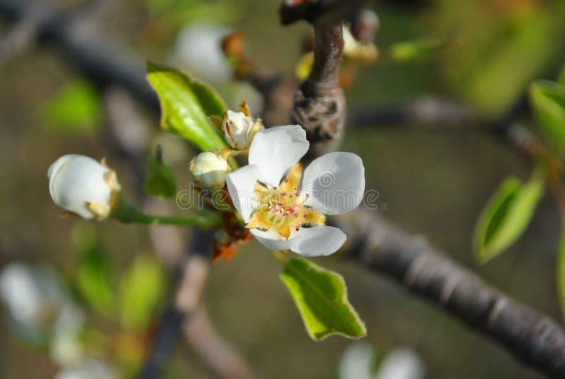 Brote del flor del peral y hojas verdes en cierre de la ramita encima del detalle en fondo fotos de archivo