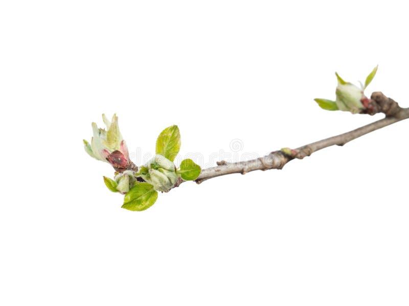 Brote del manzano en blanco fotos de archivo libres de regalías