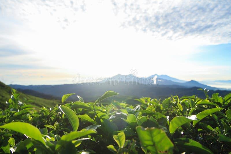 Brote del té verde y hojas frescas por la mañana Escena de la salida del sol con la montaña y el cielo azul fotografía de archivo