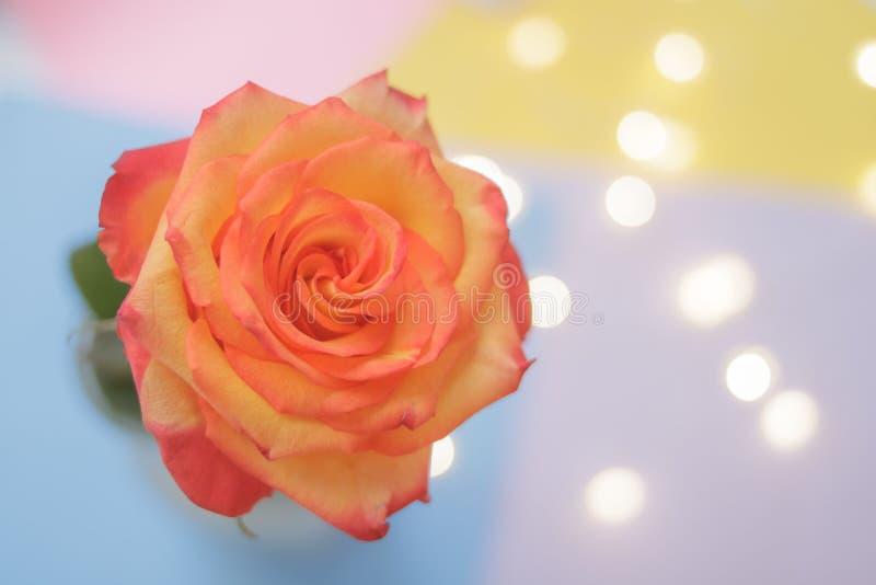 Brote floreciente de una rosa amarillo-roja en un fondo multicolor imagen de archivo