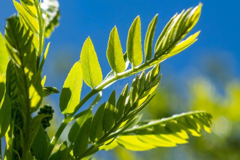 Brote fresco con las pequeñas hojas verdes contra un cielo azul, en un día de primavera soleado imágenes de archivo libres de regalías