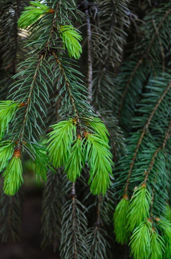 Brote joven en un árbol de pino imagen de archivo