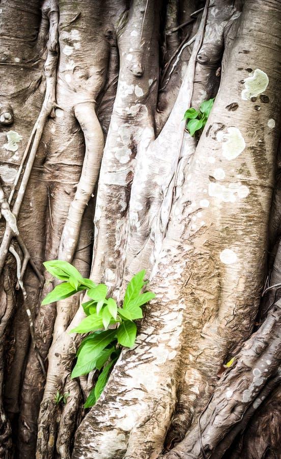 Brote joven que crece a través de raíces del árbol viejo. foto de archivo libre de regalías