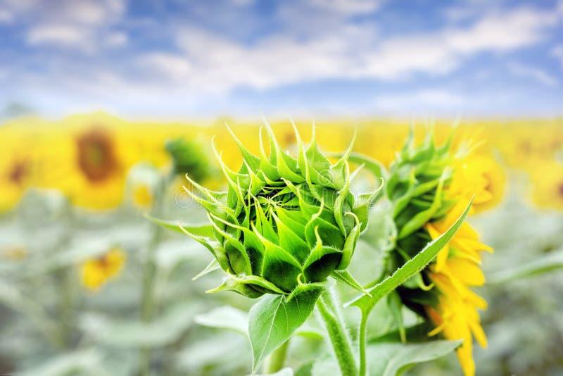 Brote joven verde del girasol en campo con el cielo azul en fondo Estampado de plores natural fotos de archivo