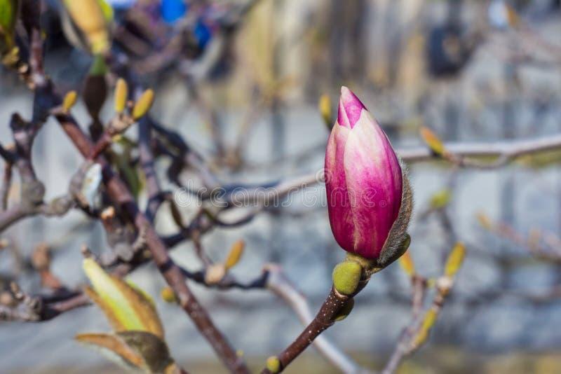Brote púrpura en primavera imagenes de archivo