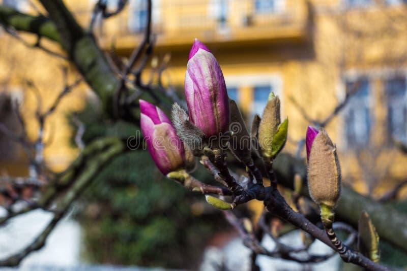 Brote púrpura en primavera fotos de archivo libres de regalías