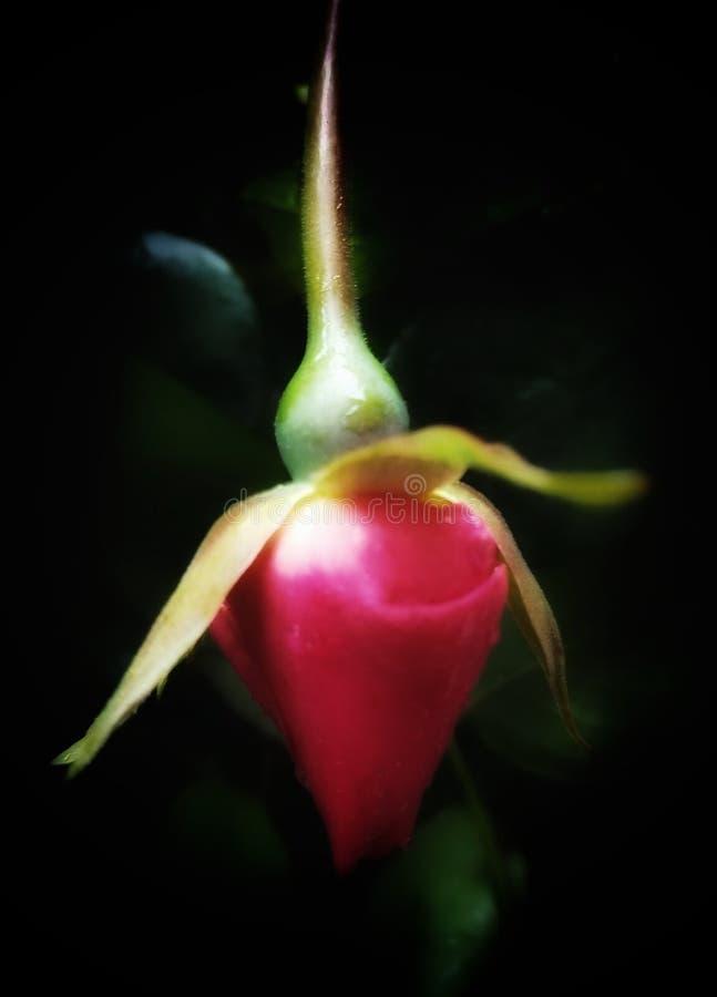 Brote rojo de Rose fotos de archivo libres de regalías