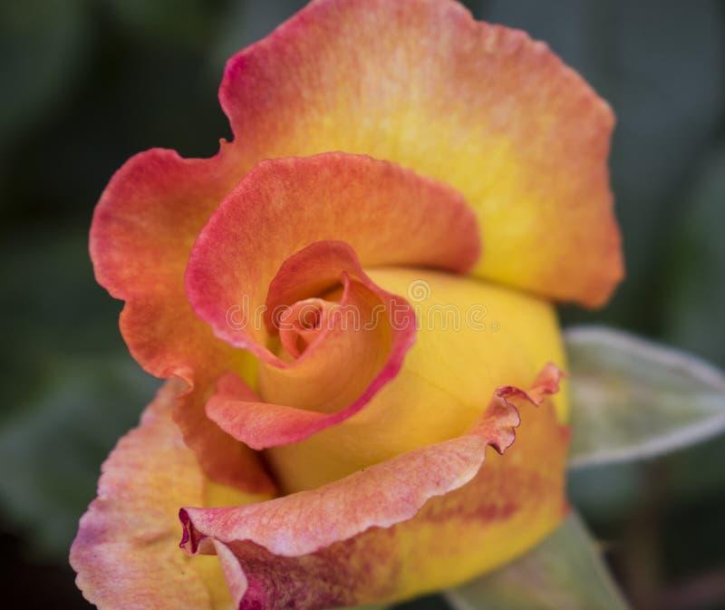 Brote rojo y amarillo hermoso de la rosa apenas alrededor a revelar fotos de archivo
