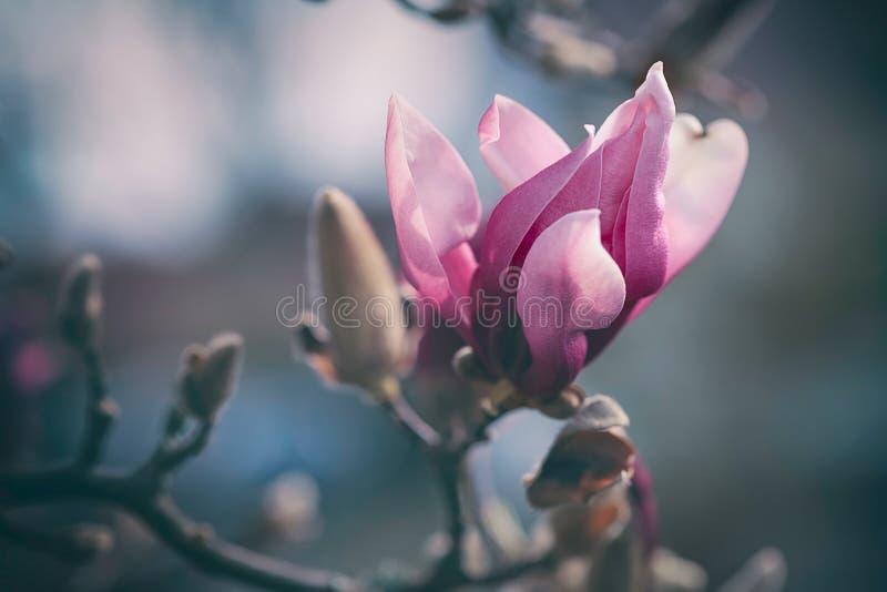 Brote rosado solo de la magnolia en primavera temprana fotos de archivo libres de regalías