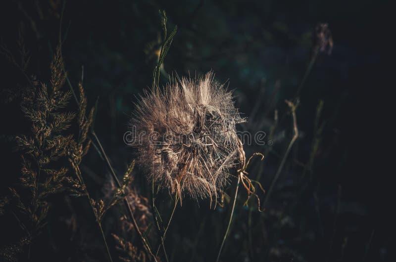 Brote semivacío del diente de león Primer de los paraguas en la luz del sol en el fondo de las hierbas del bosque Taraxacum fotos de archivo