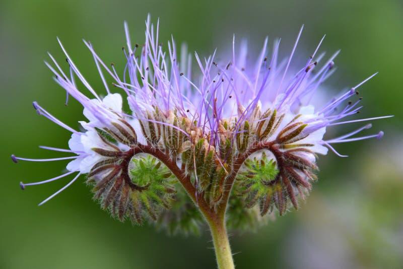 Brote suavemente púrpura de la flor de la miel foto de archivo libre de regalías