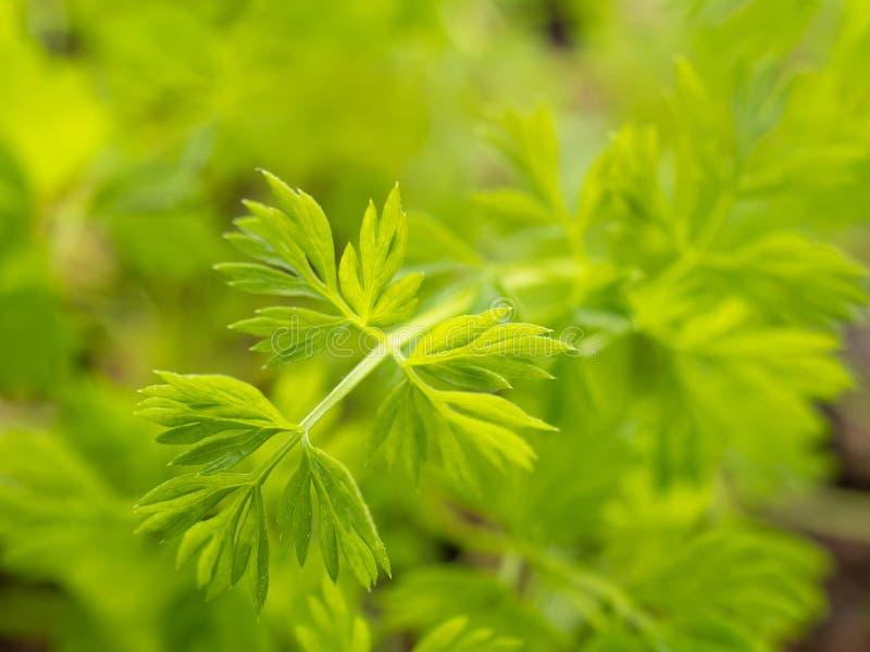 Brote verde creciente fresco joven de la hoja de la zanahoria foto de archivo