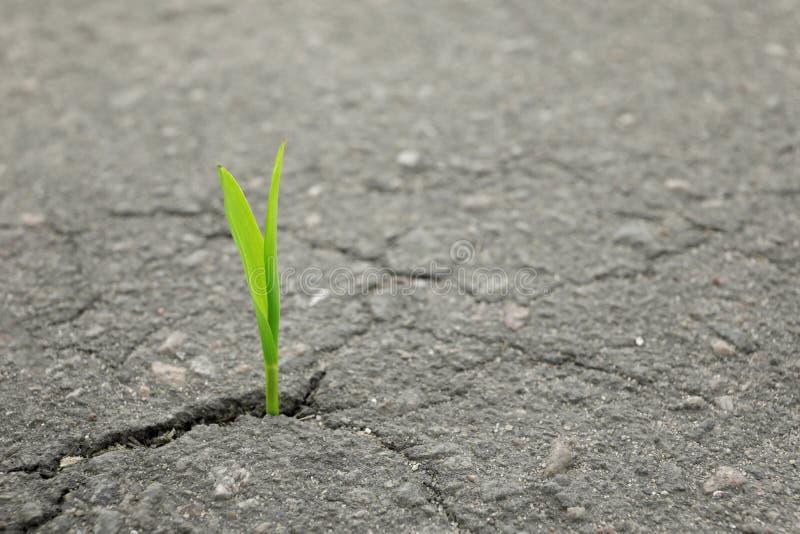 Brote verde joven que crece de la grieta en asfalto imagenes de archivo