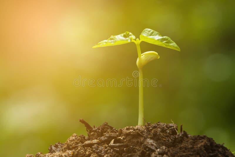 Brote verde que crece del germen foto de archivo