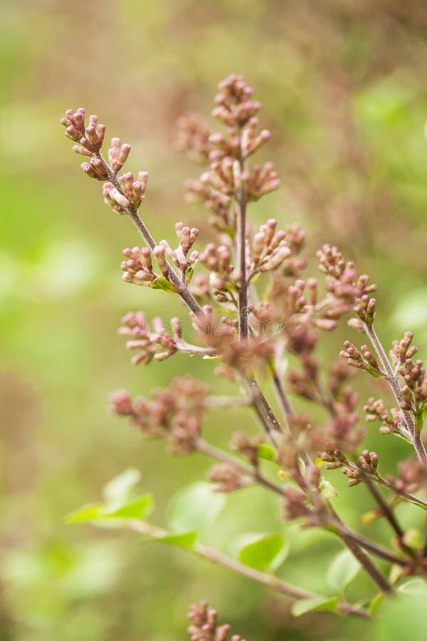 Brotes de Bush de lila en primavera fotografía de archivo