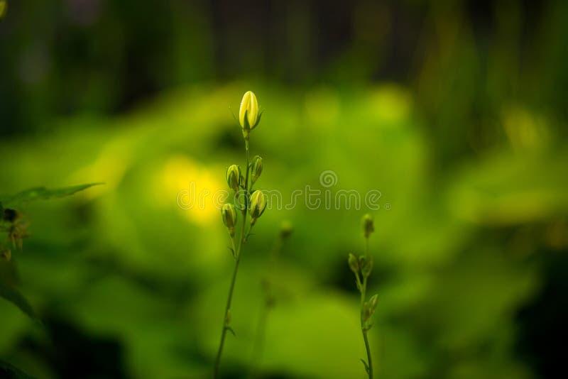 Brotes de flor amarillos de la mostaza en campo verde imagen de archivo libre de regalías
