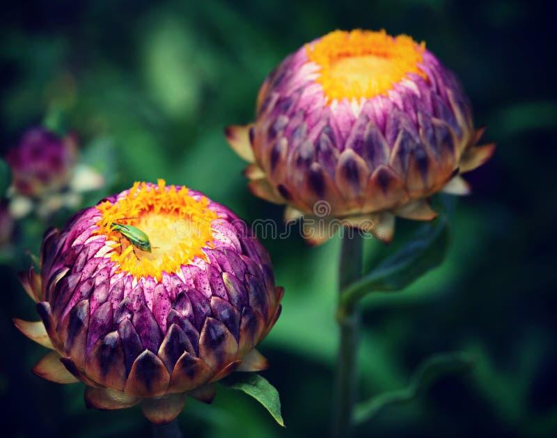 Brotes de flor amarillos púrpuras con el insecto foto de archivo
