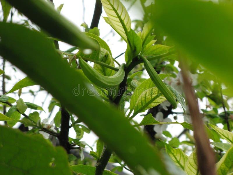 Brotes de flor de la calabaza en arbustos de la planta con el fondo verde de las hojas fotografía de archivo libre de regalías
