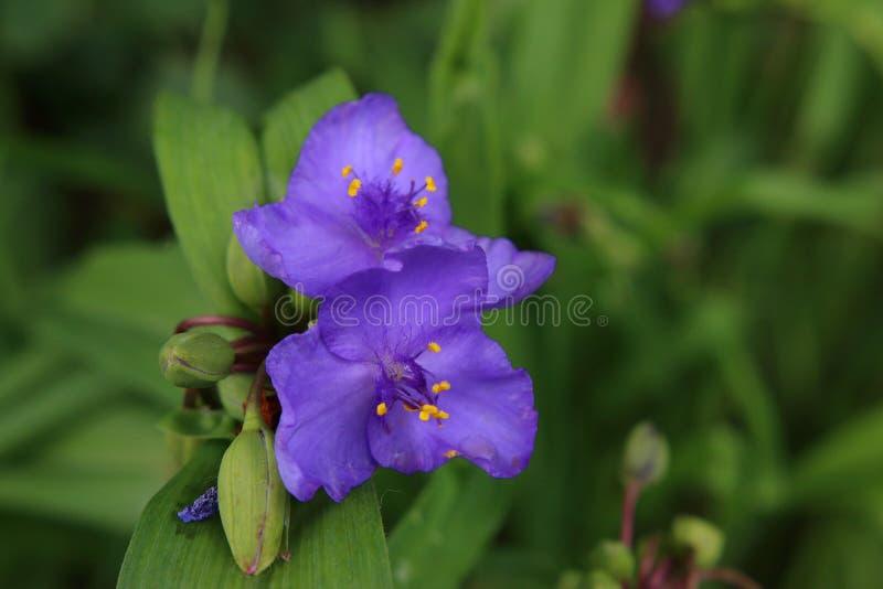 Brotes de flor púrpuras en la primavera imágenes de archivo libres de regalías