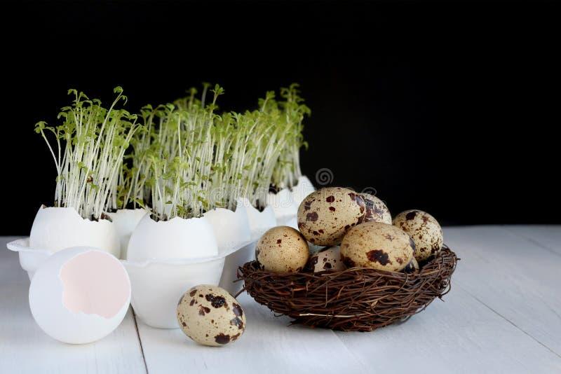 Brotes de la ensalada verde que crecen en las cáscaras de huevo y los huevos de codornices en una jerarquía en la tabla blanca Te fotografía de archivo