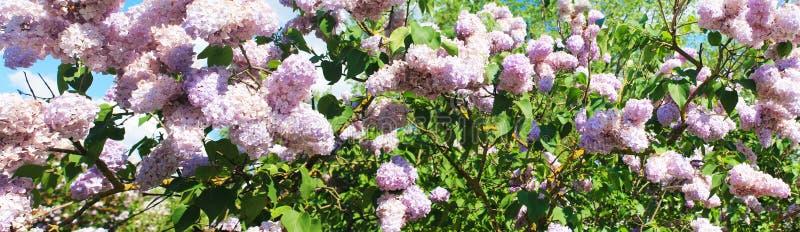 Brotes de la lila púrpura magnífica durante el florecimiento imagen de archivo libre de regalías