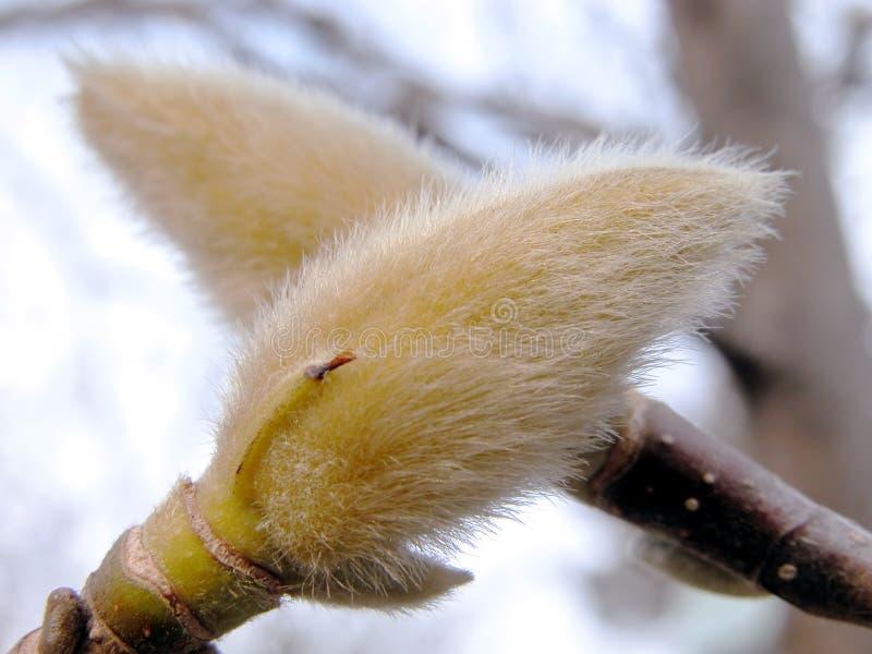 Brotes de la magnolia imagenes de archivo