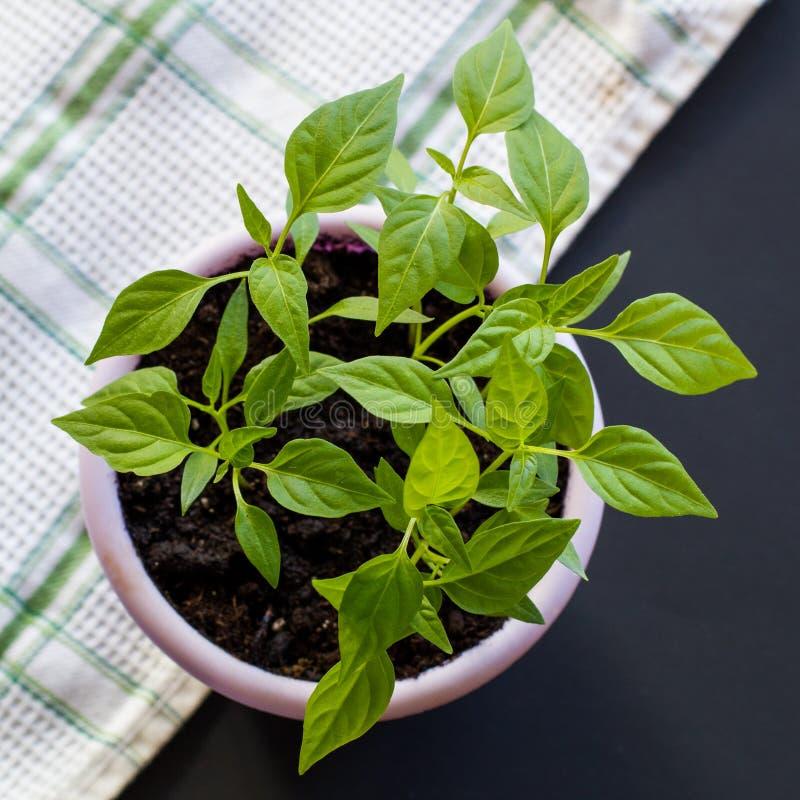 Brotes de la pimienta vietnamita caliente en un pote púrpura en un fondo negro y una toalla a cuadros verde-blanca de la galleta  foto de archivo