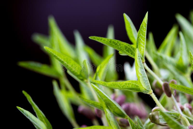Brotes de la soja verde imagen de archivo