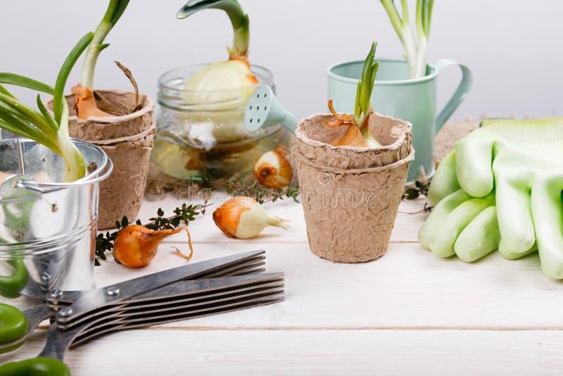 Brotes de las herramientas que cultivan un huerto de cebollas verdes en la tabla de madera blanca del jarson Salte en el fondo de imagen de archivo libre de regalías