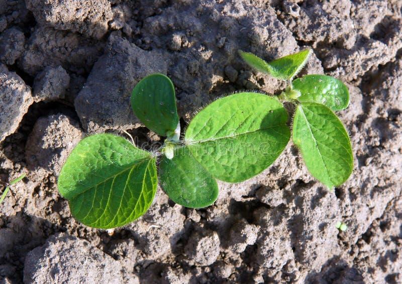 Brotes de las plantas de soja fotos de archivo
