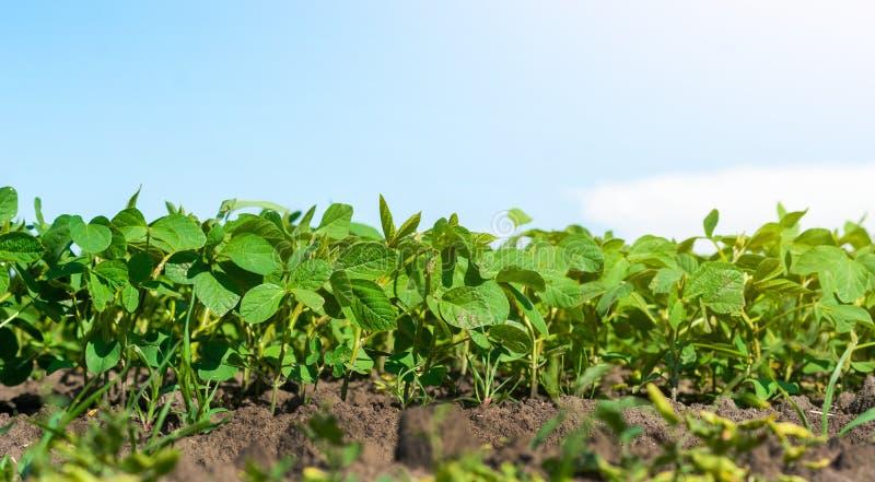 Brotes de las sojas jovenes en campo, hojas verdes, tierra, harv fotos de archivo