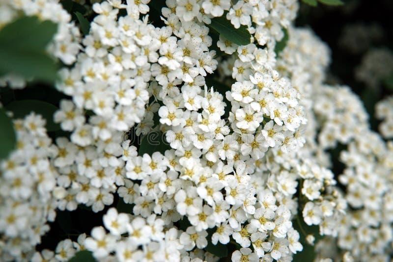Brotes de Spirea que florecen en un parque o un jardín del verano imagenes de archivo