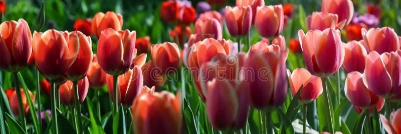 Brotes de tulipanes rojos y rosados con las hojas verdes frescas en luces suaves en el fondo de la falta de definición con el lug fotografía de archivo libre de regalías
