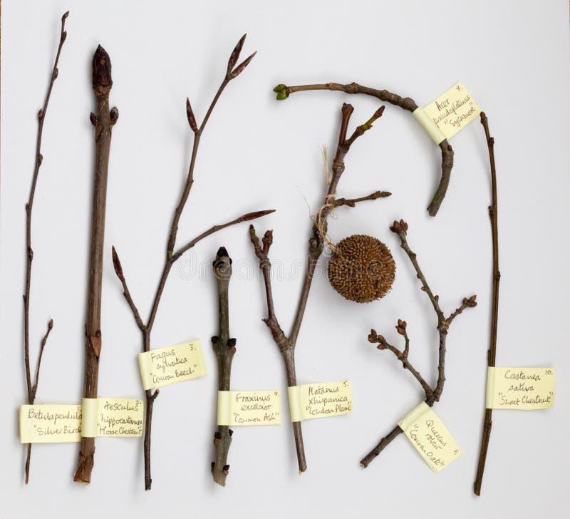Brotes del árbol de hoja caduca foto de archivo libre de regalías