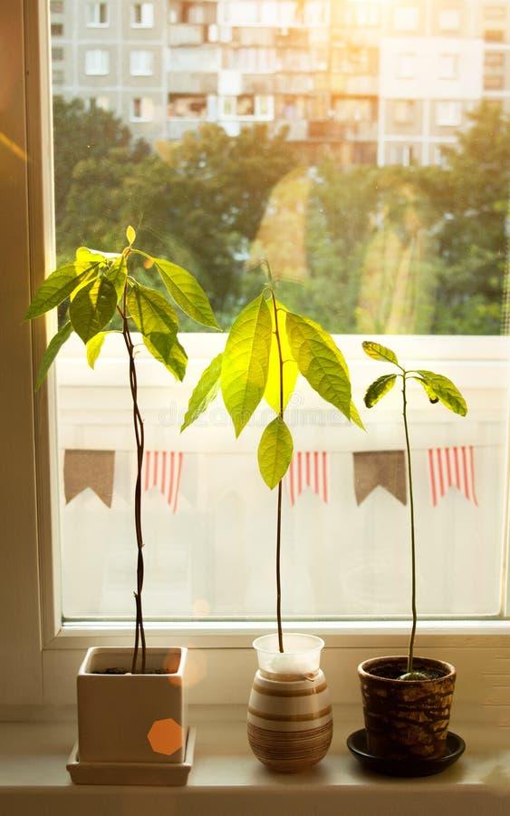 Brotes del aguacate Almácigos jovenes de los árboles del aguacate en potes en travesaño de la ventana Planta casera verde Diferen fotografía de archivo