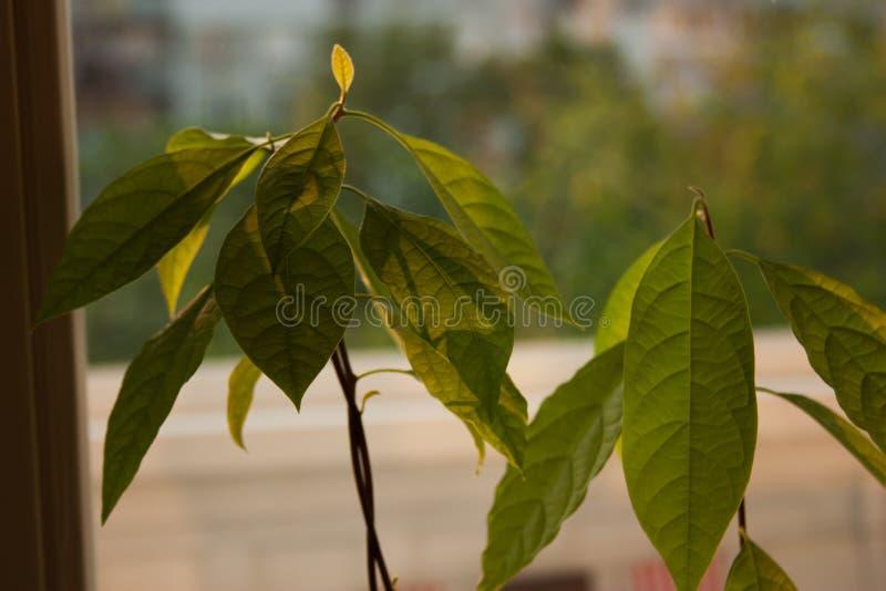 Brotes del aguacate Almácigos jovenes de los árboles del aguacate en potes en travesaño de la ventana Planta casera verde Diferen imagen de archivo