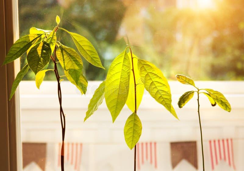 Brotes del aguacate Almácigos jovenes de los árboles del aguacate en potes en travesaño de la ventana Planta casera verde Diferen imagen de archivo libre de regalías