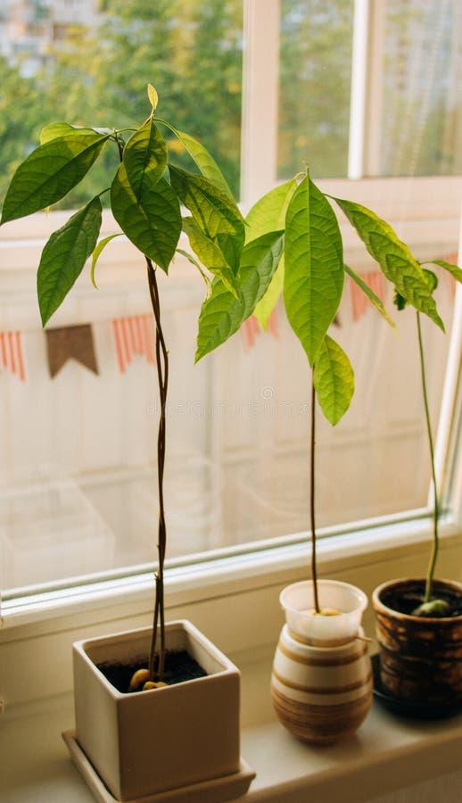 Brotes del aguacate Almácigos jovenes de los árboles del aguacate en potes en travesaño de la ventana Planta casera verde Diferen fotografía de archivo libre de regalías